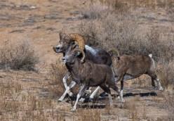 Animals Mongolia