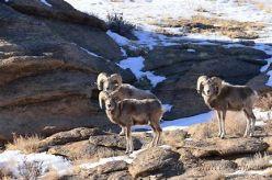 argali sheep mongolia