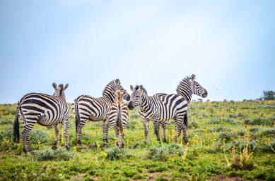 Zebra Kenia